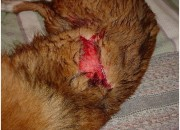 Treatment of Cuts, Injuries, Wounds and Abscesses in Dogs, Cats, and Other Pets