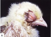 Overview of Aspergillosis in Poultry