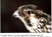 Falcon Diseases - Avian Pox